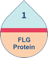 Patients with the FLG protein were more prone to developing eczema